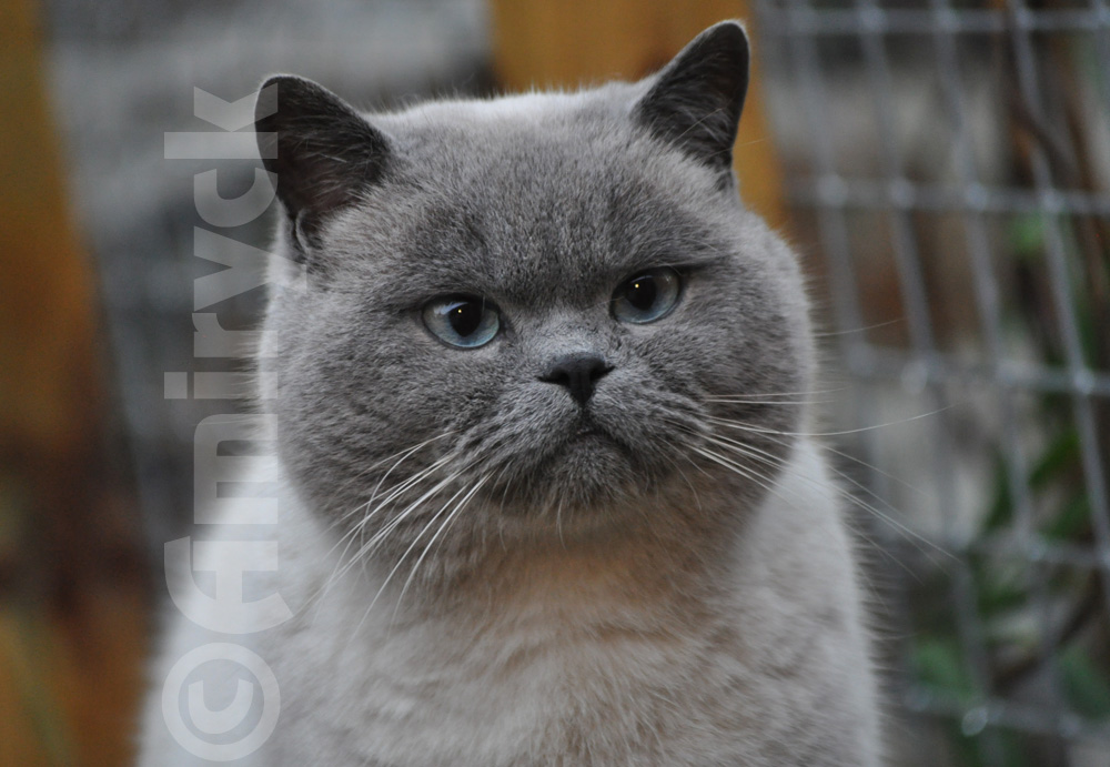 English Blue Cat Breeders