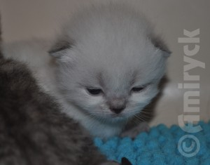 Kizzy kittens - 2 weeks old