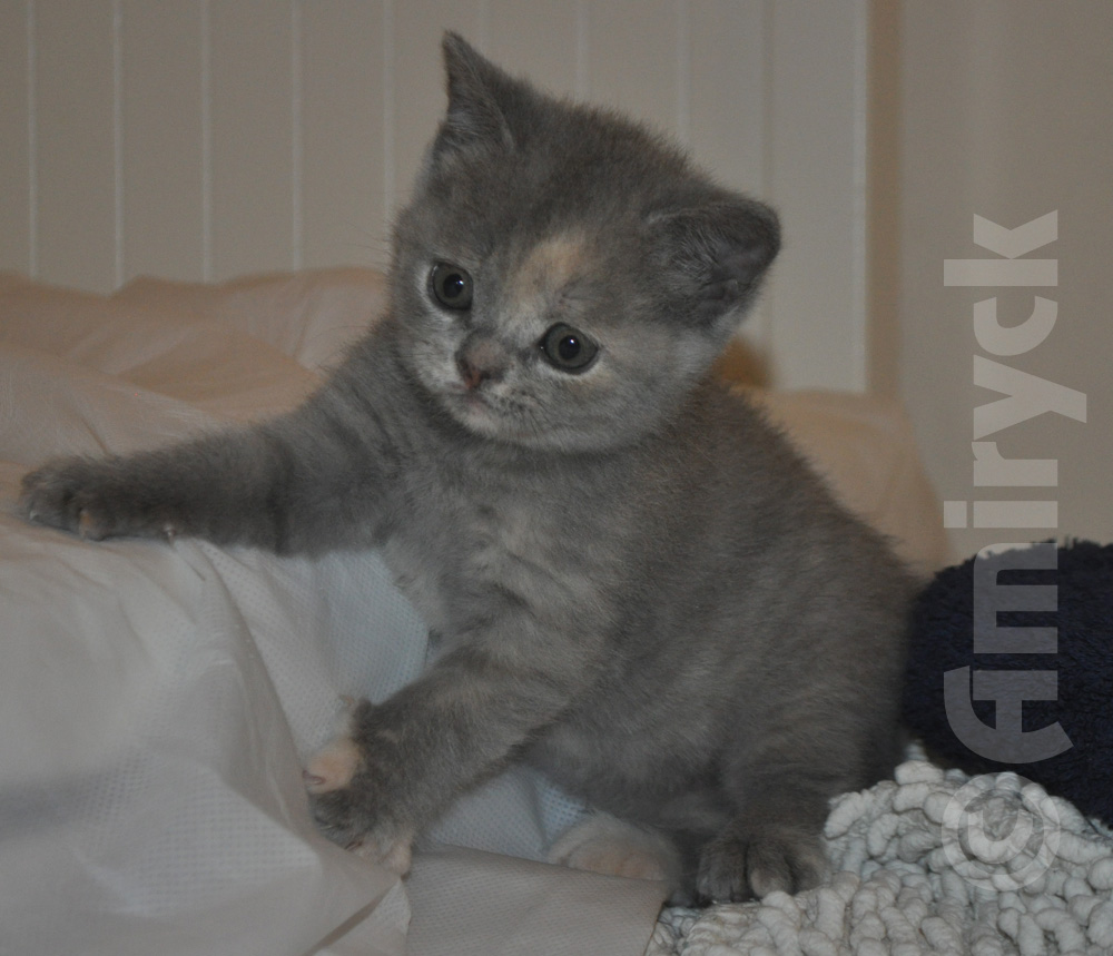 British Shorthair Colours Amiryck British Shorthair Kittens and Cats