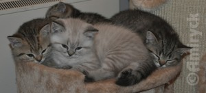 Amiryck British Shorthair Kittens