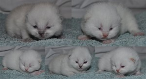 Karas kittens 11 days old